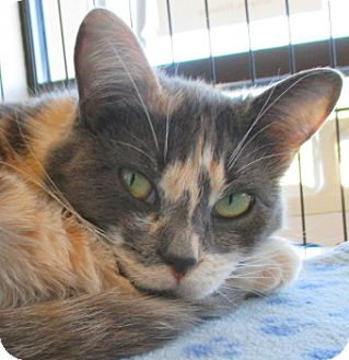 Calico Cat for adoption in Red Bluff, California - CAMI
