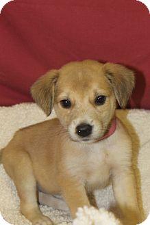 Labrador Retriever/Shepherd (Unknown Type) Mix Puppy for adoption in Waldorf, Maryland - Kerrigan
