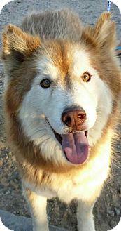 Siberian Husky Dog for adoption in Apple valley, California - Lodi