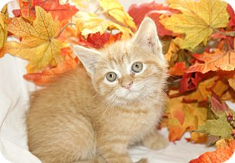 Domestic Shorthair Kitten for adoption in Kensington, Connecticut - Big D.