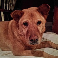 Chow Chow Mix Dog for adoption in San Antonio, Texas - Sara