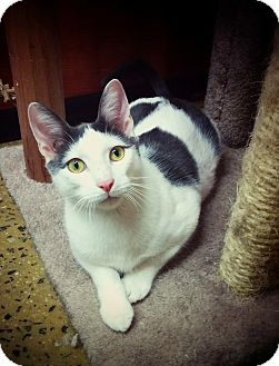 Domestic Shorthair Kitten for adoption in Long Beach, New York - Patches