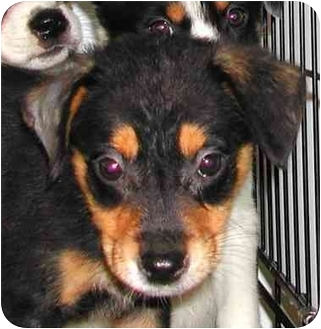 Australian Shepherd/Australian Cattle Dog Mix Puppy for adoption in Rolling Hills Estates, California - Candy & Champ