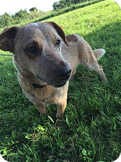 Basset Hound/Blue Heeler Mix Dog for adoption in Maryville, Missouri - Bear