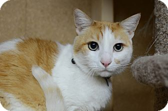 Domestic Shorthair Cat for adoption in Eureka, California - Brogan