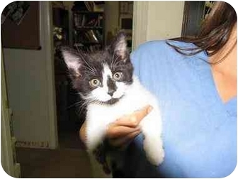 Domestic Shorthair Kitten for adoption in Denver, Colorado - Emilie