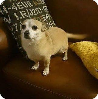 Chihuahua Dog for adoption in Regina, Saskatchewan - Snickers