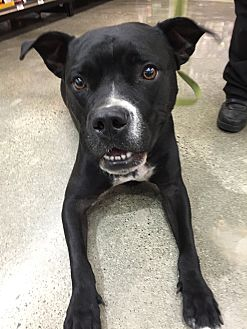 American Pit Bull Terrier/Boxer Mix Dog for adoption in Lincoln, California - Penny-ADOPTION FEE SPONSORED!!