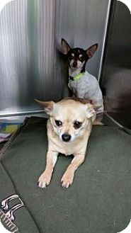 Chihuahua Dog for adoption in Shawnee Mission, Kansas - Moonpie and RC