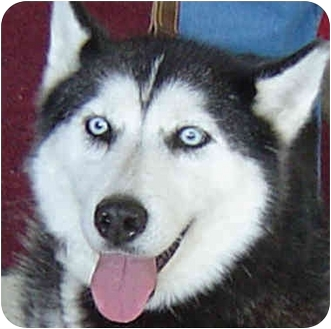 Siberian Husky Dog for adoption in Various Locations, Indiana - ATHENA