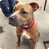 American Staffordshire Terrier Dog for adoption in Middletown, Ohio - Romeo