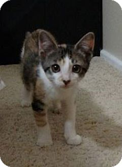 Calico Kitten for adoption in Savannah, Georgia - Simone