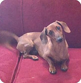 Dachshund Mix Dog for adoption in Windham, New Hampshire - Franky