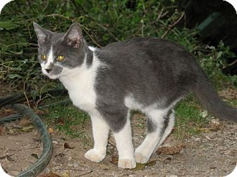 Domestic Shorthair Cat for adoption in Gainesville, Virginia - Jester