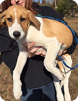 Collie/Labrador Retriever Mix Puppy for adoption in Beacon, New York - Percy