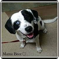 Adopt A Pet :: MAMA BEAR - MEDICAL HOLD - Lincoln, NE