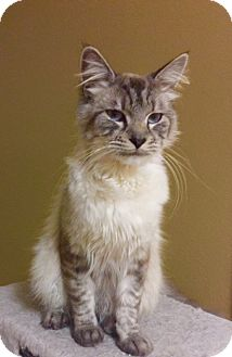 Siberian Cat for adoption in Santa Monica, California - SYLVESTER