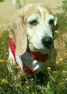 Beagle Dog for adoption in Apple Valley, California - Milo