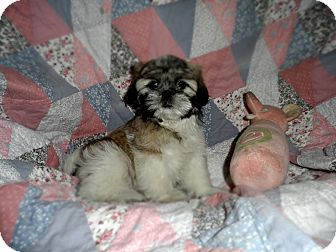 Shih Tzu Puppy for adoption in Riverside, California - Sweet Pea
