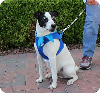Jack Russell Terrier/Terrier (Unknown Type, Medium) Mix Dog for adoption in Las Vegas, Nevada - STUART