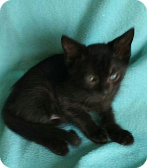 Domestic Shorthair Kitten for adoption in Spring Valley, New York - Noodles