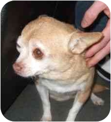 Chihuahua Dog for adoption in kennebunkport, Maine - GINGER!  PLEASE HELP!