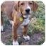 Photo 3 - Labrador Retriever/Golden Retriever Mix Puppy for adoption in Old Bridge, New Jersey - Joker