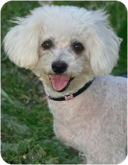 Poodle (Miniature) Mix Dog for adoption in La Habra Heights, California - Superb Sandy