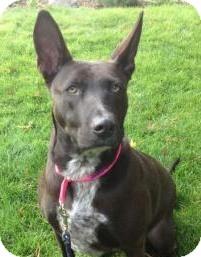 Shepherd (Unknown Type)/Cattle Dog Mix Dog for adoption in Snohomish, Washington - Awesome Athena