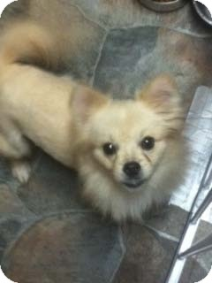 Pomeranian Puppy for adoption in Hazard, Kentucky - Piper