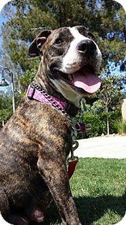 American Staffordshire Terrier Mix Dog for adoption in Corona, California - Ms. LIbby, Brindle One Year
