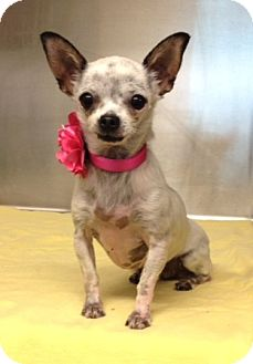 Chihuahua Mix Dog for adoption in Dublin, California - Skipper