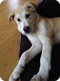 Husky/Alaskan Malamute Mix Puppy for adoption in Vancouver, British Columbia - Lacey