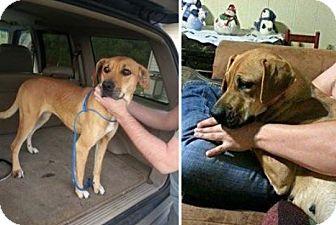 Rhodesian Ridgeback/Mountain Cur Mix Dog for adoption in Newtown, Connecticut - Reba