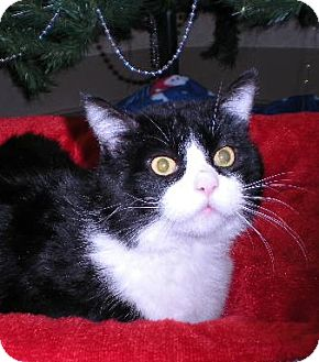 Domestic Shorthair Cat for adoption in New Castle, Pennsylvania - Bubba