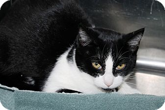 Domestic Shorthair Cat for adoption in Kalamazoo, Michigan - Penny