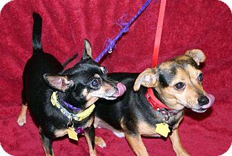 Chihuahua Dog for adoption in Va Beach, Virginia - Daisy
