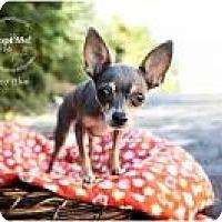 Adopt A Pet :: Coco Blue - Shawnee Mission, KS