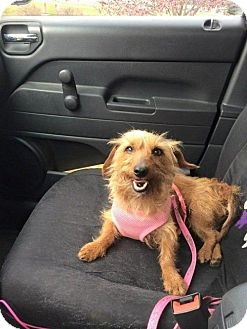 Dachshund Dog for adoption in Rathdrum, Idaho - Camilla