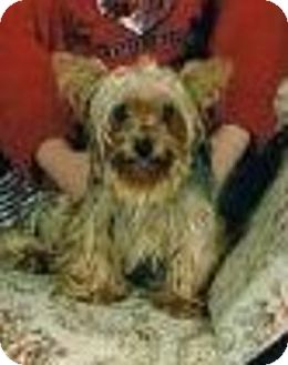 Yorkie, Yorkshire Terrier Dog for adoption in Conway, Arkansas - Gabby