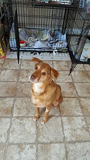 Spaniel (Unknown Type)/Shepherd (Unknown Type) Mix Dog for adoption in Richmond, Virginia - Hazel