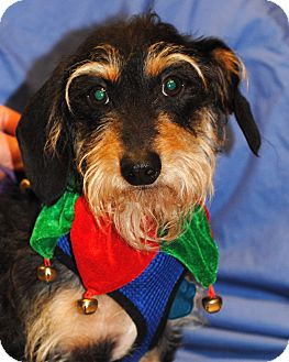 Dachshund Dog for adoption in Omaha, Nebraska - Groot-Pending Adoption