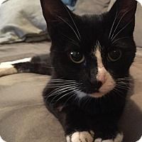 Adopt A Pet :: Phoebe: The wonder Kitty - Brooklyn, NY