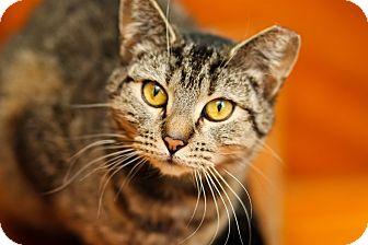 Domestic Shorthair Cat for adoption in Brimfield, Massachusetts - Merida