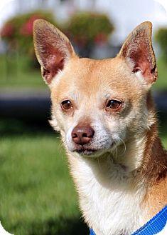 Shiba Inu/Chihuahua Mix Dog for adoption in Tacoma, Washington - Simon