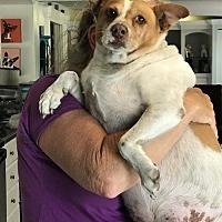 Adopt A Pet :: Poptart - Venice, FL