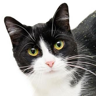 Domestic Shorthair/Domestic Shorthair Mix Cat for adoption in Adrian, Michigan - Beatrice