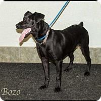 Adopt A Pet :: Bozo - Ada, OK