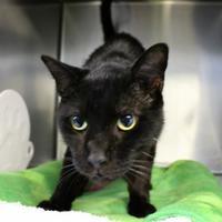 Adopt A Pet :: Bags FIV+ - St. Petersburg, FL