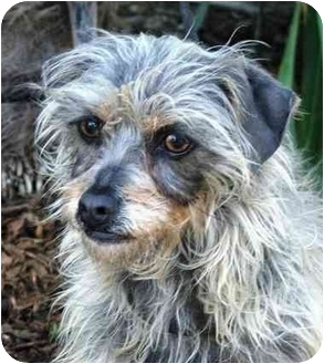 Yorkie, Yorkshire Terrier/Chinese Crested Mix Dog for adoption in Vista, California - Toodles